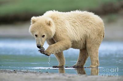 Photograph - Blond Grizzly  Playing With Stone Katmai by Yva Momatiuk John Eastcott