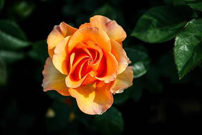Photograph - Blood Orange Rose by John Haldane