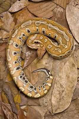 Python Photograph - Blood Python by Chris Mattison/FLPA