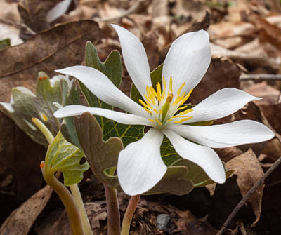 Bloodroot Photograph - Blood Root 1 by Douglas Barnett