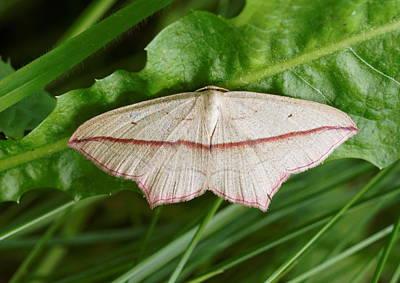 Blood Vein Moth Art Print