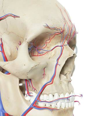 Human Head Photograph - Blood Vessels In The Face by Sciepro