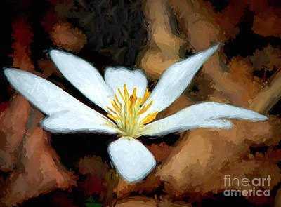 Photograph - Bloodroot Wildflower   by Kerri Farley