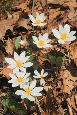 Bloodroot Wildflowers Art Print by John Burk