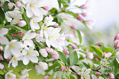 Florals Photos - Blooming apple tree by Elena Elisseeva