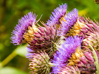 Uncle Sam Posters Rights Managed Images - Blooming Artichokes Royalty-Free Image by Beverly Tabet