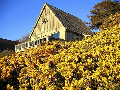 Photograph - Blooming Bandon Broom by Will Borden