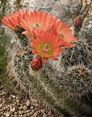 Photograph - Blooming Cacti by David and Carol Kelly