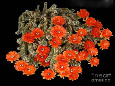 Photograph - Blooming Cactus Masterpiece by Merton Allen