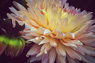Blooming Dahlias Art Print