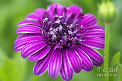 Photograph - Blooming Daisy by Pamela Gail Torres
