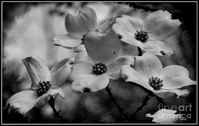 Photograph - Blooming Dogwood / Flora by James C Thomas