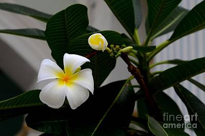 Photograph - Blooming Frangipani Flower Alongside Bud by Imran Ahmed