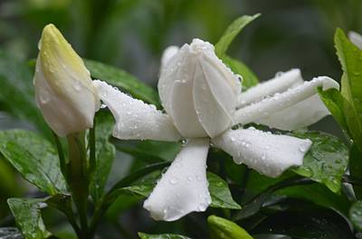 Photograph - Blooming Gardenia 2013 by Maria Urso