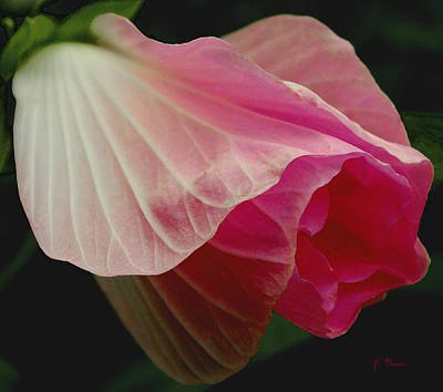 Blooming Hibiscus Art Print