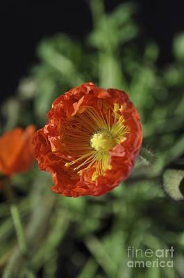 Photograph - Blooming Iceland Poppy by Bridgette Gomes