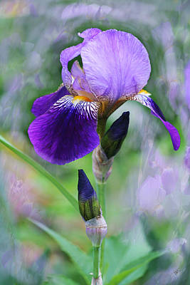Gloxinias Photograph - Blooming Iris - Caprice by Ben and Raisa Gertsberg