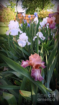 Photograph - Blooming Iris by Kay Novy
