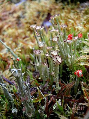 Blooming Lichen Art Print by Steven Valkenberg