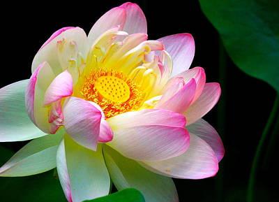 Blooming Lotus Flower Art Print