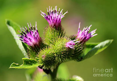 Photograph - Blooming Magenta Purple Thistles by Jackie Farnsworth