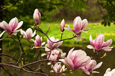 Photograph - Blooming Magnolia Tree by Danuta Antas Wozniewska