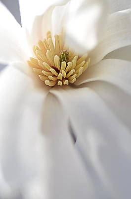 Photograph - Blooming Merrill Magnolia by Julie Palencia