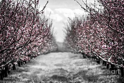 Peach Photograph - Blooming Peach Orchard by Elena Elisseeva