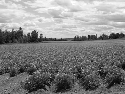 Photograph - Blooming Potato Field by Gene Cyr