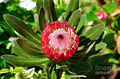 Blooming Protea Art Print by Kaye Menner