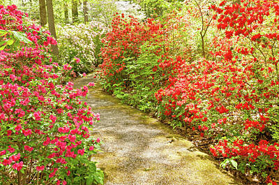 Botanical Photograph - Blooming Red Azalea Flowers In Spring by Travelif