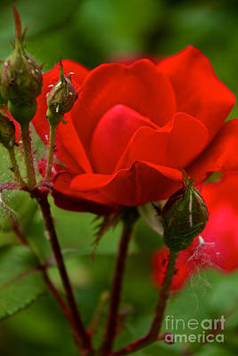 Photograph - Blooming Roses by William Norton