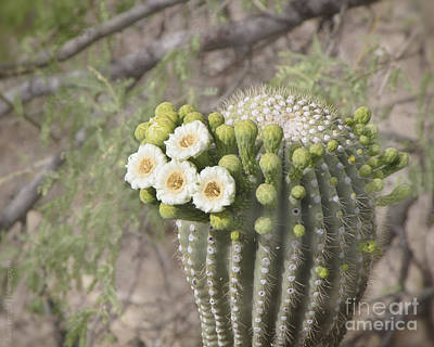Blooming Saguaro Art Print