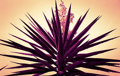 Photograph - Blooming Spanish Bayonet by Christy Usilton