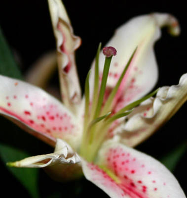 Photograph - Blooming Stargazer by Cathie Tyler