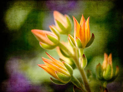 Photograph - Blooming Succulents II by Marco Oliveira