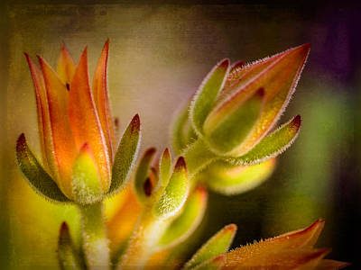Photograph - Blooming Succulents Iv by Marco Oliveira