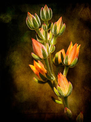 Photograph - Blooming Succulents Vi by Marco Oliveira
