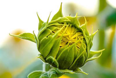 Blooming Sunflower Original