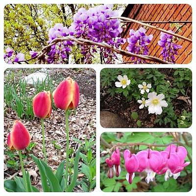 Tulips Photograph - Blooming This Morning. #instaframepro by Teresa Mucha