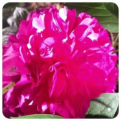 Blooming Today. #peony #flower #bloom Art Print