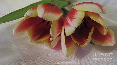 Genus Photograph - Blooming Tulips 3 by Cathy Lindsey
