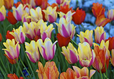 Art Print featuring the photograph Blooming Tulips by John Babis