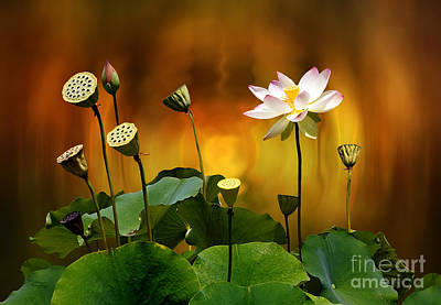 Photograph - Blooming White Lotus Flower by Gabriele Pomykaj
