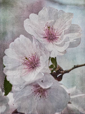 Photograph - Blooms Of Cherry by Theo O'Connor