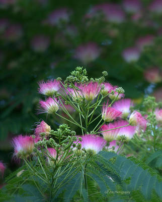 Photograph - Blooms Of The Mimosa Tree by Jeanette C Landstrom