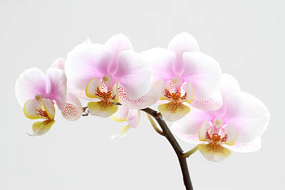 Orchids Photograph - Blooms On White by Juergen Roth