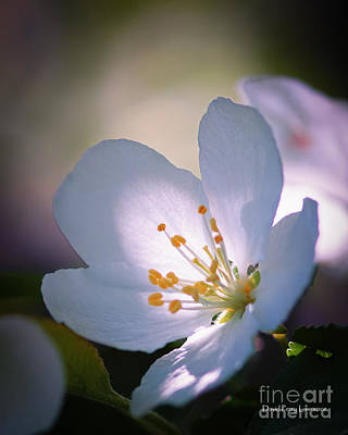 Photograph - Blossom In The Sun by David Perry Lawrence