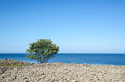 Photograph - Blossom Lone Whitebeam Tree At Coast by Kennerth and Birgitta Kullman