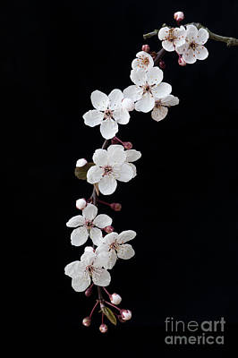 Blossom On Black Art Print by Tim Gainey